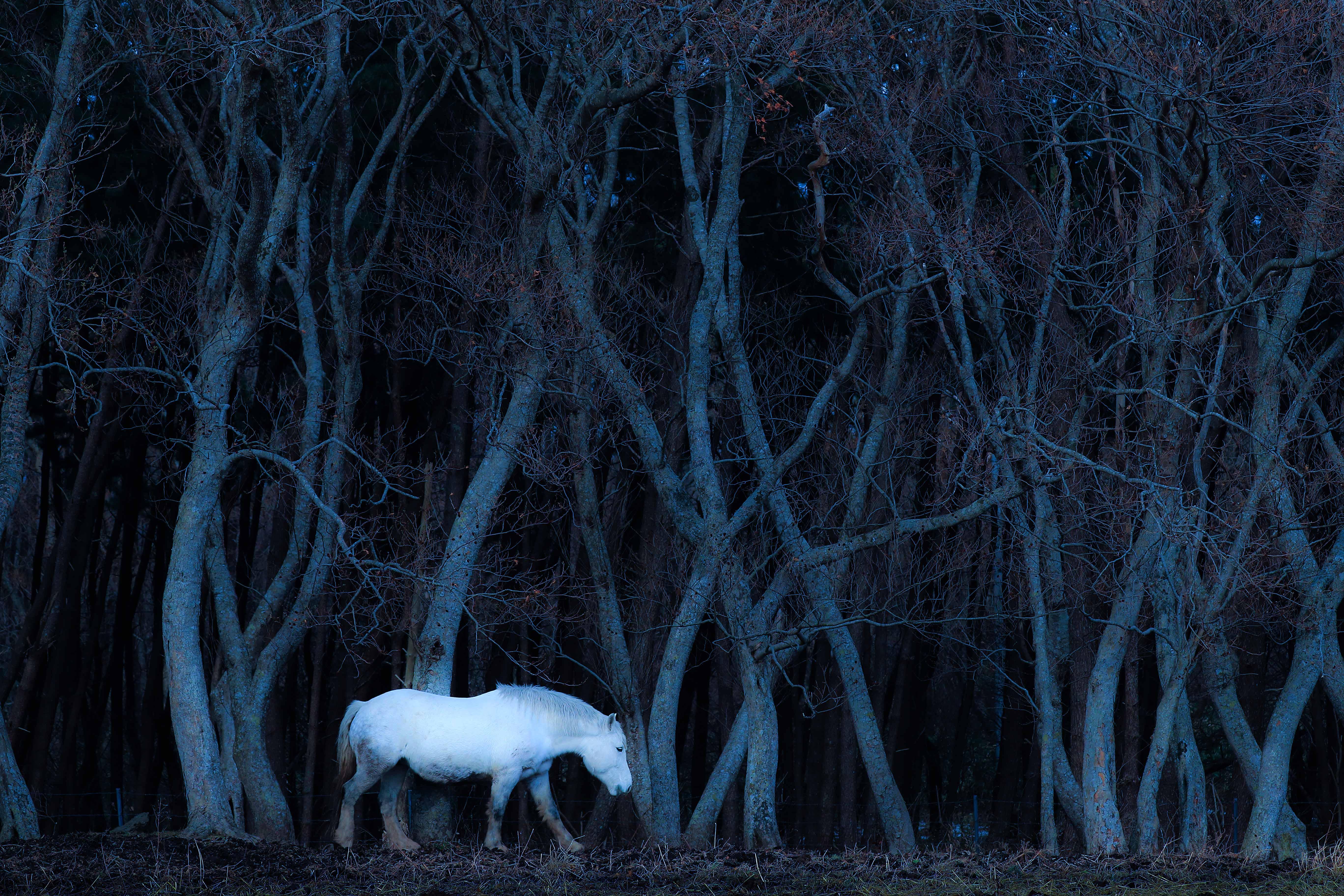 「白い馬」